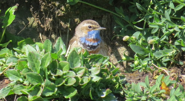 Bluethroat crop