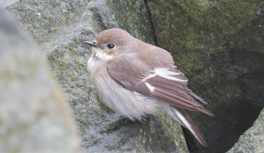 Female Pied FLy crop