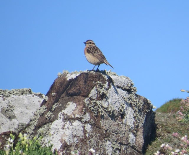 Whinchat crop